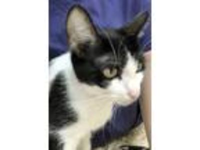 Adopt Kate a All Black Domestic Shorthair / Mixed (medium coat) cat in Maumee