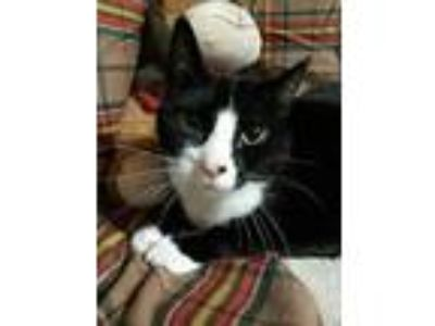 Adopt Freddy (foster home) a Domestic Short Hair