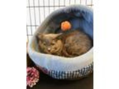 Adopt Cherry Ann a Domestic Short Hair