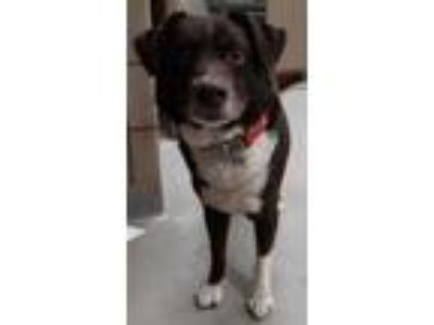 Adopt JACXON a Brown/Chocolate Collie / Mixed dog in Mesquite, TX (25666792)