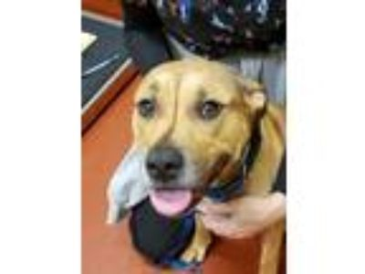 Adopt Pepper Kello a Brown/Chocolate American Pit Bull Terrier dog in
