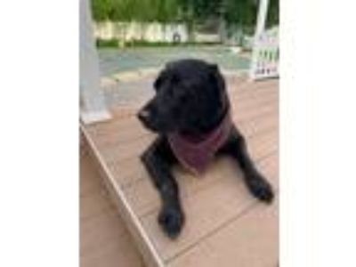Adopt Maxx a Black Labrador Retriever / Mixed dog in Freehold, NJ (25347071)