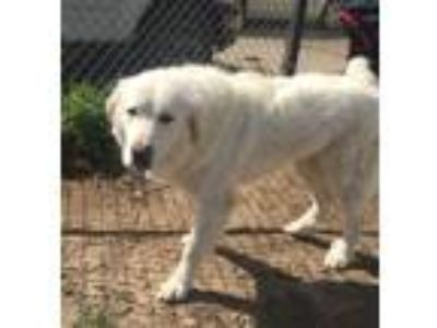 Adopt Grizzly HFD a White Great Pyrenees / Mixed dog in Statewide, TX (23511946)
