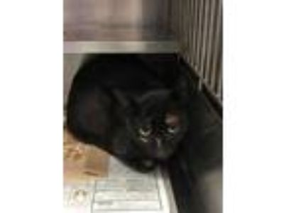 Adopt 41976744 a All Black Domestic Shorthair / Domestic Shorthair / Mixed cat
