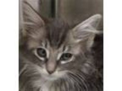 Adopt Michelle a Domestic Longhair / Mixed (long coat) cat in Novato