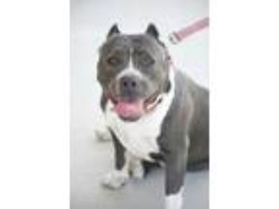Adopt Sparkle a Gray/Blue/Silver/Salt & Pepper American Pit Bull Terrier / Mixed