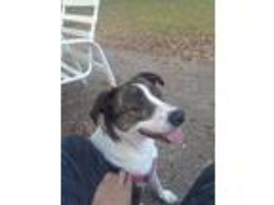 Adopt Emily a Brown/Chocolate - with White Border Collie / St.