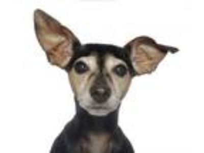 Adopt Tita a Black - with Tan, Yellow or Fawn Miniature Pinscher / Mixed dog in