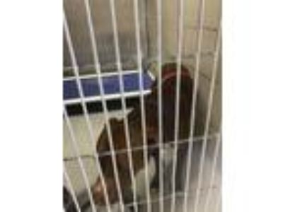 Adopt Sparkle a Pit Bull Terrier, Mixed Breed