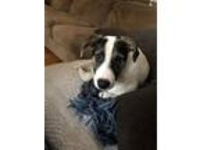 Adopt Maggie a White - with Black Border Collie / Beagle dog in Marietta