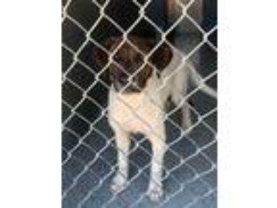 Adopt Bradley a White Labrador Retriever / Hound (Unknown Type) / Mixed dog in