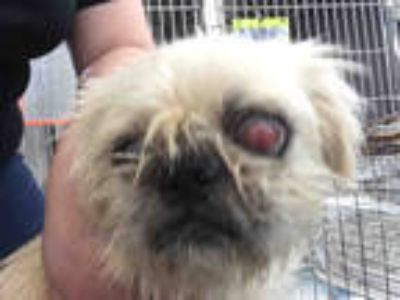 Shih Tzu - Animals and Pets for Adoption Classifieds in
