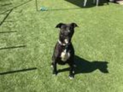 Adopt Spice a Mixed Breed (Medium) / Mixed dog in Meridian, ID (25362979)