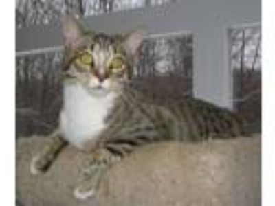 Adopt Sage a Domestic Short Hair, Tabby