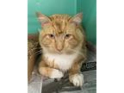 Adopt Garfield a Domestic Medium Hair