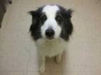 Adopt Pigeon a White Border Collie / Mixed dog in Winchester, OR (25308569)