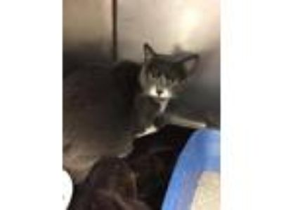 Adopt Silverbell a Domestic Shorthair / Mixed (short coat) cat in Fall River