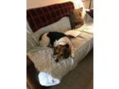 Adopt Buddy a Tricolor (Tan/Brown & Black & White) Beagle / Basset Hound / Mixed