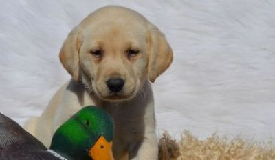 ghhhh Labrador Retriever Puppies For Sale