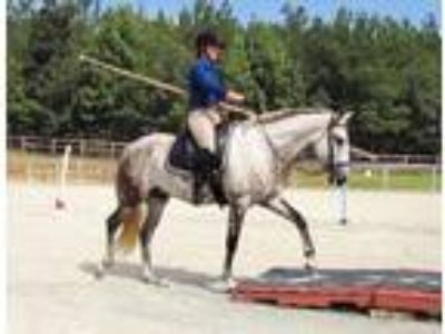 Working Equitation Andalusian Gelding in Raleigh NC