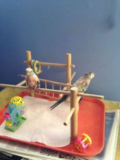 Rosey Bourke Handfed Parakeets for Sale