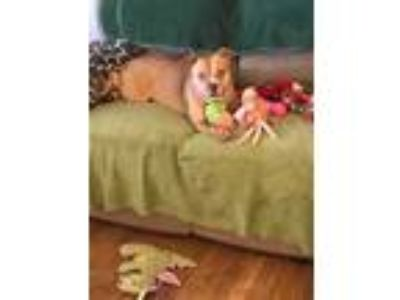 Adopt Javanna a Tan/Yellow/Fawn - with White Pit Bull Terrier dog in