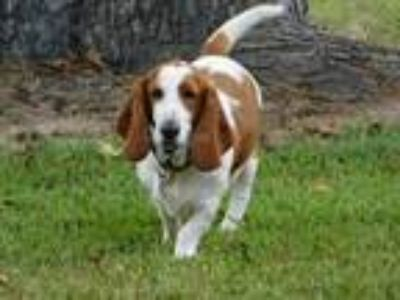 Adopt Ladybug a Tricolor (Tan/Brown & Black & White) Basset Hound / Mixed dog in