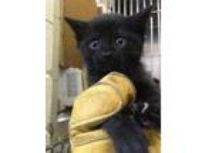 Adopt Lisa Turtle a All Black Domestic Shorthair / Domestic Shorthair / Mixed