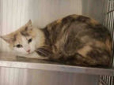 Adopt *CARMELLA a Brown or Chocolate (Mostly) Domestic Shorthair / Mixed (short