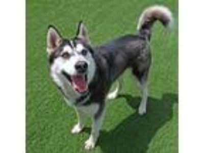 Adopt Marx a Siberian Husky / Mixed dog in Mipiltas, CA (25535294)