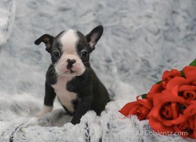 Gus Male Boston Terrier AKC