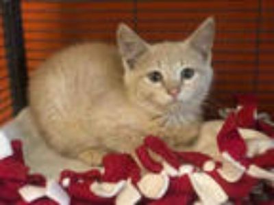 Adopt TRACE a Cream or Ivory Domestic Shorthair / Mixed (short coat) cat in