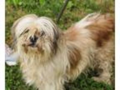 Adopt Tango a Tan/Yellow/Fawn - with White Shih Tzu / Mixed dog in Martinsville