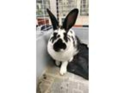 Adopt ROGER a White Rex / Rex / Mixed rabbit in Houston, TX (25286572)