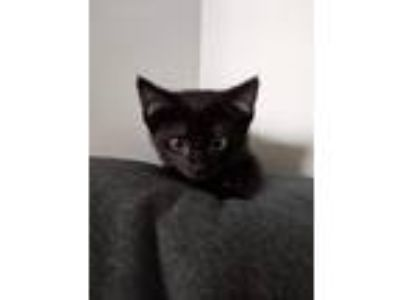 Adopt Black Kittens a All Black Domestic Shorthair (short coat) cat in Grand