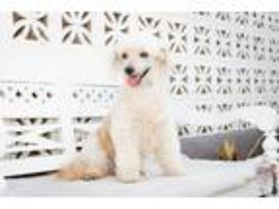 Adopt Benji a White - with Black Poodle (Standard) / Mixed dog in Inglewood