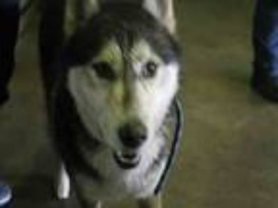 Adopt Denver a Gray/Silver/Salt & Pepper - with White Siberian Husky / Mixed dog