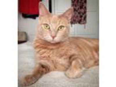 Adopt Roxie a Tan or Fawn Tabby Domestic Shorthair (short coat) cat in Los