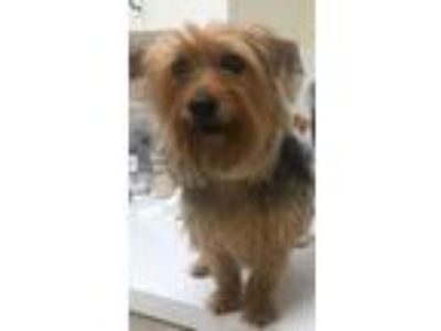 Adopt Eggplant*FH* BONDED WITH SQUASH* a Yorkshire Terrier