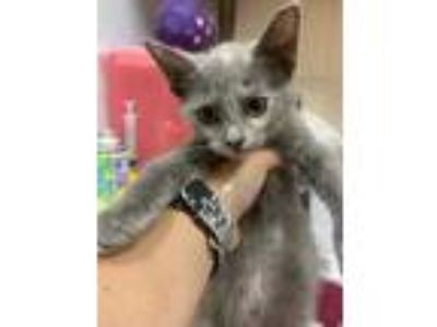 Adopt Riley a Gray or Blue American Shorthair / Domestic Shorthair / Mixed cat