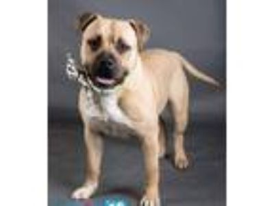 Adopt PacMan a Staffordshire Bull Terrier, Black Mouth Cur