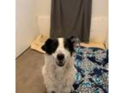 Adopt Tonka a Australian Shepherd