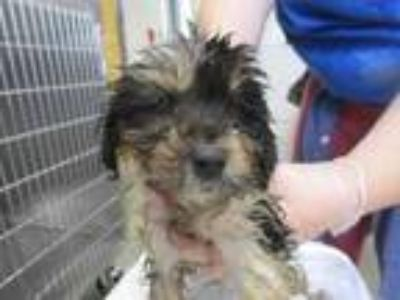 Adopt Idaho a Black Terrier (Unknown Type, Small) / Catahoula Leopard Dog /