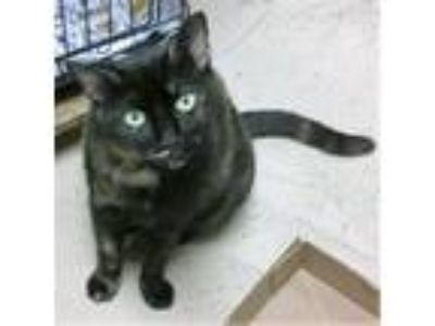 Adopt KitKat a Tortoiseshell Domestic Shorthair (short coat) cat in Pottsville