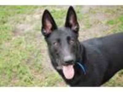 Adopt Creed a Black German Shepherd Dog / Australian Cattle Dog / Mixed dog in