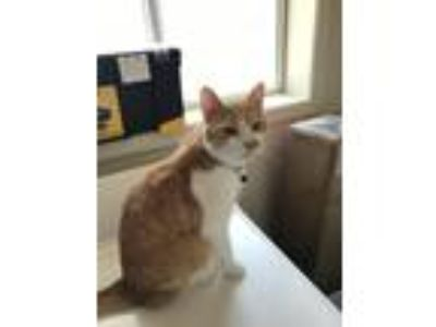 Adopt Chester a Orange or Red Tabby Domestic Shorthair / Mixed cat in Meridian
