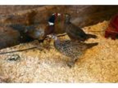 Adopt Female Ring Neck Pheasant a Chicken bird in Stratham, NH (22570585)