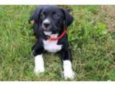Adopt Jenni a Black Labrador Retriever