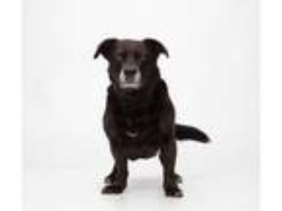 Adopt Abby a Black - with White Corgi / Spaniel (Unknown Type) / Mixed dog in