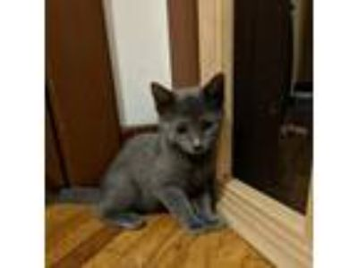 Adopt Gretel a Gray or Blue Domestic Shorthair cat in Pendleton, NY (25522390)